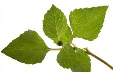 Essa é a folha de Jambú. que cozida é acrescida ao Tacacá. uma erva com a propriedade de provocar sensação de formigamento na boca.